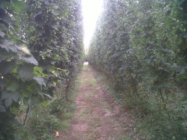 A hop field