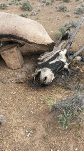 This Gemsbok was left out as bait for the lion