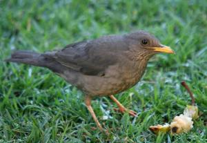 And here he is...The Karoo Thrush